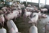 สัตวแพทย์ควบคุมฟาร์มสุกรฯ ชี้ร้อนแล้งกระทบหมู 2 เด้ง ภูมิคุ้มกันโรคต่ำเสียหายกว่า 20% หมูโตช้าส่งผลต้นทุนพุ่ง